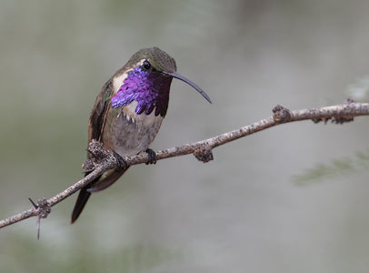 Lucifer Hummingbird Species - Hummingbirds Plus
