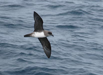 Atlantic Petrel (Pterodroma incerta) photo image