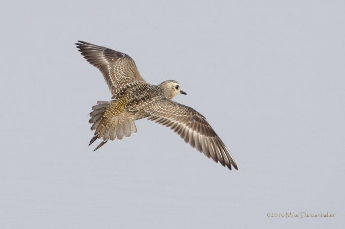 American golden plover pluvialis dominica photo image freerunsca Images