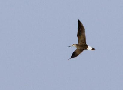 Green sandpiper flight - photo#4